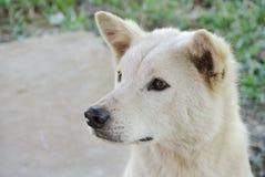 Een nieuwsgierige witte hond Royalty-vrije Stock Afbeelding