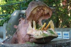 Een Nijlpaard eet Royalty-vrije Stock Afbeelding