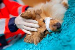 Een noodsituatiedierenarts behandelt een kleine Herdershond van Shetland royalty-vrije stock afbeelding