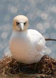 Een noordelijk jan-van-gent op een nest Stock Fotografie