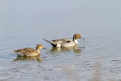 Een Noordelijke Pijlstaart Duck Couple die in een vijver in NJ zwemmen stock afbeeldingen
