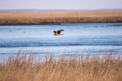 Een Noordelijke Plunderaar tijdens de vlucht over moerasgras met de baai op de achtergrond royalty-vrije stock foto's