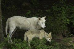 Een Noordpoolwolf en zijn welp Stock Afbeeldingen