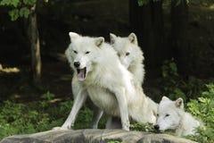 Een Noordpoolwolfspak in een bos Royalty-vrije Stock Fotografie