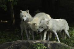 Een Noordpoolwolfspak in een bos Royalty-vrije Stock Afbeeldingen