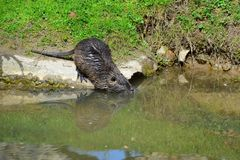 Een nutria die in het water glijden stock foto