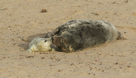 Een offerte, neus aan neus ogenblik met een Grey Seal Halichoerus-grypus mum en haar onlangs geboren jong die op het strand ligge Royalty-vrije Stock Afbeeldingen