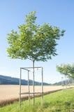 Een okkernootboom Royalty-vrije Stock Afbeeldingen