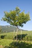 Een okkernootboom Stock Afbeeldingen