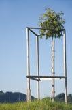 Een okkernootboom Stock Foto's