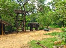 Een olifant die in gevangenschap in de buurt van Sigiriya wonen Royalty-vrije Stock Foto's