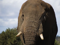 Een olifant in het Nationale Park Kruger Stock Foto
