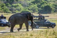 Een olifant loopt voorbij toeristenjeeps in het Nationale Park van Minneriya in Sri Lanka in de recente middag royalty-vrije stock foto's