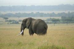 Een olifantsstier Royalty-vrije Stock Foto