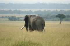 Een olifantsstier Stock Afbeeldingen