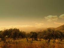 een olijfboom Stock Foto