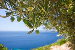 Een olijfboom op de overzeese achtergrond Stock Foto's