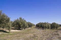 Een olijfgaard in Sevilla Stock Foto