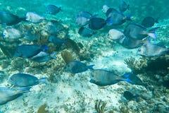 Een ondiepte van vissen in Caraïbische Zee Stock Afbeeldingen
