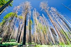 Een onlangs gebrand bos bij het Nationale Park van Yosemite Royalty-vrije Stock Foto's