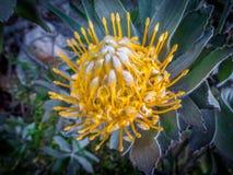 Een onlangs geopend speldenkussen (protea, fynbos) Royalty-vrije Stock Afbeelding