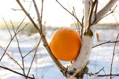 Een onnatuurlijk fenomeen gebeurt niet, een sinaasappel op een berkboom in de winter in Rusland stock afbeelding