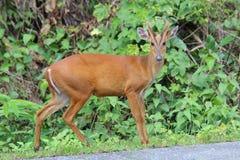 Een ontschorsend hert naast de weg in het park royalty-vrije stock foto's