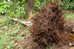 Een ontwortelde boom in het bos royalty-vrije stock foto