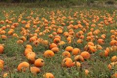 Een oogst van pompoenen Royalty-vrije Stock Afbeelding