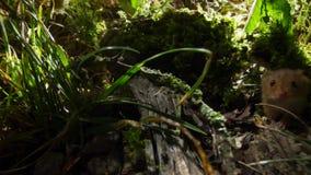 Een oogstmuis beklimt gras, een grijp- staarthandelingen zoals een vijfde lidmaat zodat is zij zo behendig zoals aap het klautere royalty-vrije stock afbeeldingen