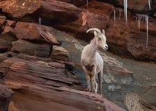 Een ooi van woestijn grote gehoornde schapen bevindt zich op een rood zandsteenrichel kijkend naar het recht met ijskegels die ne royalty-vrije stock afbeelding