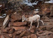 Een ooi van woestijn grote gehoornde schapen daalt een rotsachtige rood zandsteenklip in het nationale park Utah van Zion royalty-vrije stock foto's