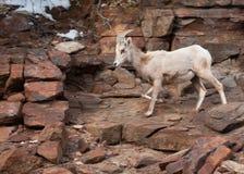 Een ooi van woestijn grote gehoornde schapen komt neer uit een sneeuwhelling langs een rotsachtige sleep in het nationale park Ut stock afbeeldingen