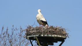 Een ooievaar en jongelui op nest