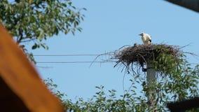 Een ooievaar kan niet het nest verlaten de Jonge ooievaar op een elektrische pool zit Duidelijke zonnige dag en blauwe hemel stock footage
