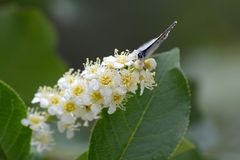Een oostelijk-De steel verwijderde van Blauwe Vlinder streek op chokecherry bloemen neer royalty-vrije stock afbeelding