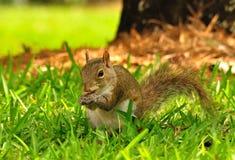 Een oostelijke Grijze eekhoorn Stock Foto's