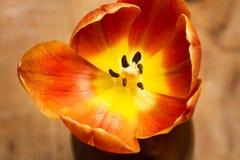 Een open tulp stock afbeeldingen