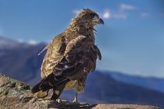 Een oportunistic Caracara-roofdier die voedsel binnen de bergen van Patagonië zoeken, Argentinië royalty-vrije stock afbeeldingen