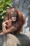 Een orangatung Royalty-vrije Stock Foto's