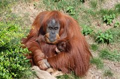 Een Orangoetan die een baby houden stock fotografie