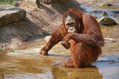 Een orangoetan leeft in een dierentuin in Frankrijk Stock Foto's