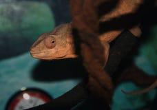 Een oranje aromakameleon stock foto