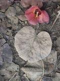 Een oranje gelaten vallen hisbiscusbloem die onder de doden liggen gaat weg Royalty-vrije Stock Afbeelding