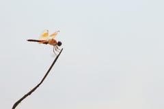 Een oranje libel houdt een takje Stock Foto's
