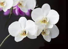 Een orchidee Royalty-vrije Stock Afbeelding