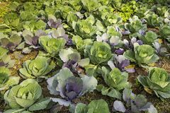 EEN ORGANISCHE GROENE ACHTERGROND VAN HET KOOLlandbouwbedrijf POKHARA NEPAL royalty-vrije stock afbeelding