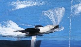 Een orka bespuit Water van zijn Mond Stock Foto