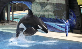 Een orka en een Trainer presteren Royalty-vrije Stock Afbeelding