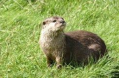 Een otter Stock Foto's